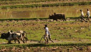 Doit-on parler de guerre des zébus à Madagascar ? Grand […]